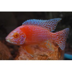 AULONOCARA FIRE FISH RED DRAGON ALBINO