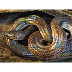 SERPIENTE XENOPELTIS UNICOLOR / SERPIENTE ARCOIRIS M-L