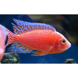 5 UNIDADES AULONOCARA FIRE FISH RED DRAGON 4 - 6 CM