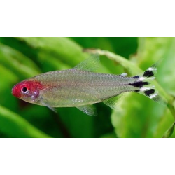 TETRA BORRACHITO HEMIGRAMMUS BLEHERI
