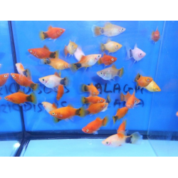PLATY MICKY MOUSE VARIADOS - XIPHOPHO MACULATUS