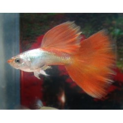 GUPPY PLATINUM RED  / POECILIA RETICULATA
