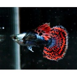 GUPPY DUMBO PLATINUM RED  / POECILIA RETICULATA