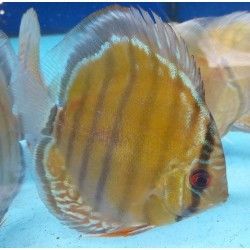 Discus wild GREEN TEFE ALENQUER