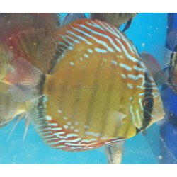 Discus wild GREEN TEFE