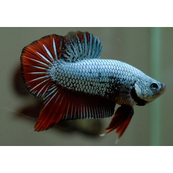BETTA  PK HM DRAGON AZUL Y ROJO
