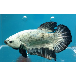 BETTA  PK HM DRAGON BLACK