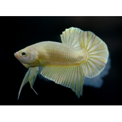 BETTA  PK HM DRAGON YELLOW