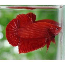 BETTA  PK HM FULL ROJO