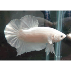BETTA  PK HM BLANCO
