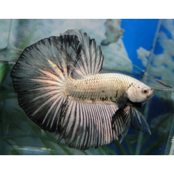 BETTA HALFMOON DRAGON PLATINUM NEGRO Macho