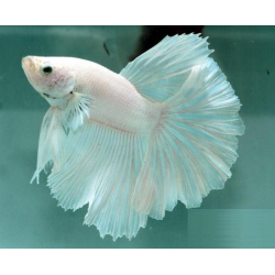 BETTA HALFMOON BLANCO Macho