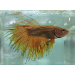 BETTA COLA CORONA AMARILLO