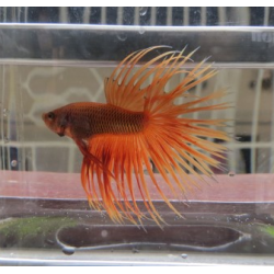 BETTA COLA CORONA NARANJA