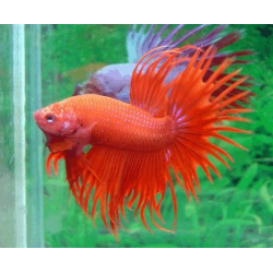 BETTA COLA CORONA ROJO
