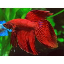 BETTA SPLENDENS ROJO Macho