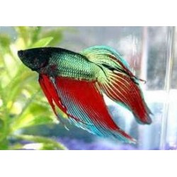 BETTA SPLENDENS TRICOLOR Macho
