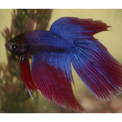 BETTA SPLENDENS BATTERFLY SALAMANDRA  Macho