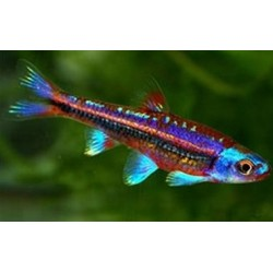 BARBO ARCOIRIS / NOTROPIS CHROSOMUS