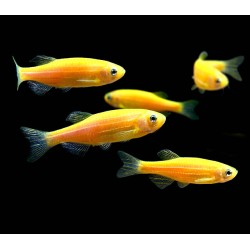 CEBRITA LIMON YELLOW / BRACHYDANIO RERIO (color solido)