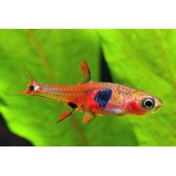 RASBORA STRAWBERRY / BORARAS NAEVUS
