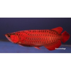 AROWANA CRIMSON SUPER RED / SCHLEROPAGES FORMOSUS (premium)