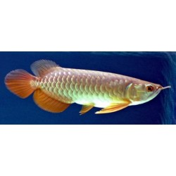 AROWANA RED TAIL GOLDEN / SCHLEROPAGES FORMOSUS(premium)
