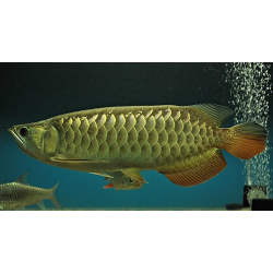AROWANA HIGH BACK GOLD / SCHLEROPAGES FORMOSUS
