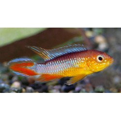 APISTOGRAMMA AGASSIZII FIRE RED