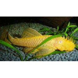 ANCISTRUS GOLD / ALBINO