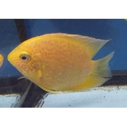 SEVERUM GOLD SPOTTED