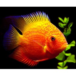 SEVERUM  RED SPOTTED