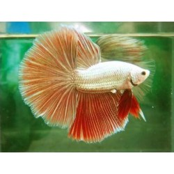 BETTA HALFMOON DRAGON ROJO