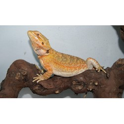 DRAGON BARBUDO/ Pogona vitticeps