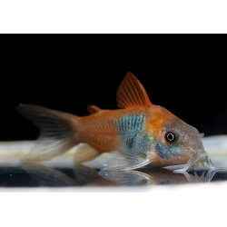 CORYDORAS VENESUELANUS  ORANGE