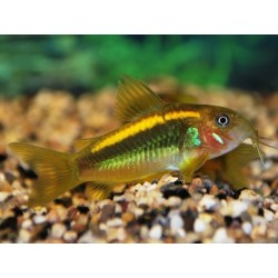 CORY PERU GOLD STRIPED (NEON ORANGE)