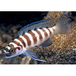 NEOLAMPROLOGUS / CYLINDRICUS
