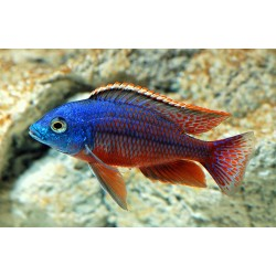PROTOMELAS TAENIOLATUS RED EMPRESS