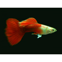 GUPPY PLATINUM YELLOW FULL RED / POECILIA RETICULATA
