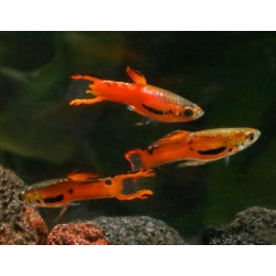 GUPPY POECILIA ENDLERI  SCARLET  RED