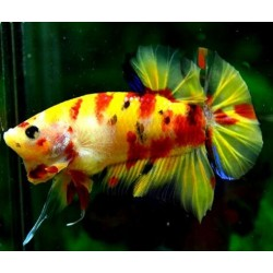 BETTA PK HM CANDY YELLOW
