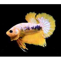 BETTA  PK HM FANCY YELLOW  VARIADOS