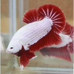 BETTA  PK HM DRAGON BLANCO Y ROJO