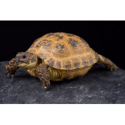TORTUGA RUSA  - AGRIONEMYS HORSFIELDI (tierra)