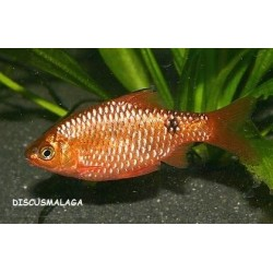 BARBO ROSA DIAMANTE SUPER RED / PUNTIUS CONCHONIUSCHIN