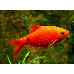 BARBO ROSA / PUNTIUS CONCHONIUS SUPER RED