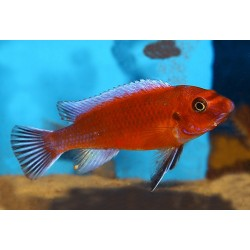 LABEOTROPHEUS TREWAVASAE RED CHILUMBA