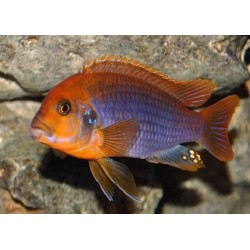 IODOTROPHEUS SPRENGERAE RED