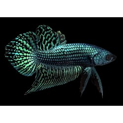BETTA HYBRIDO PACIFICO - ALIEN  METALICO