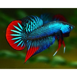 BETTA IMBELLIS PACIFICO